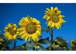 蓝色,黄色,黄色的花朵,花卉,向日葵,植物559309