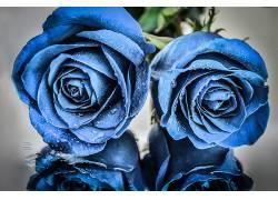 蓝色的花朵,玫瑰,植物,花卉,水滴542293