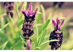 薰衣草,花卉,紫色的花朵231173