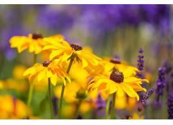 薰衣草,黄色的花朵,花卉421927