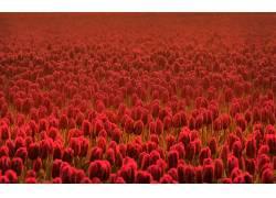 郁金香,红色的花朵,花卉,壁纸,领域181851