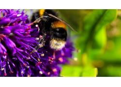 蜜蜂,花卉,紫色的花朵,宏137451