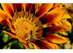 蜜蜂,花卉,黄色的花朵,宏,昆虫,壁纸29987