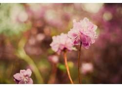 植物,花卉,粉色的花朵,壁纸,景深338014