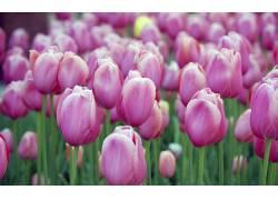 郁金香,花卉,壁纸,粉色的花朵146431