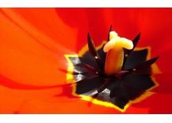郁金香,花卉,宏,特写,红色的花朵,植物17735