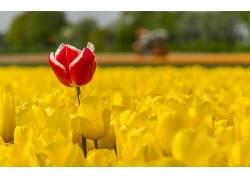 郁金香,花卉,领域,植物,黄色的花朵,红色的花朵479250