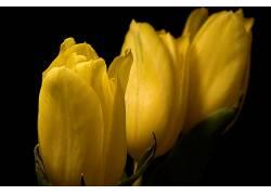郁金香,花卉,黄色的花朵,植物636794