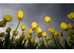 郁金香,蠕虫的眼睛视图,花卉,黄色的花朵,露166532