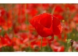 109796,地球,罂粟,花,壁纸图片
