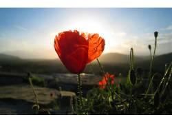 109944,地球,罂粟,花,花,壁纸图片