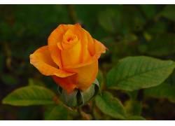 102190,地球,玫瑰,花,壁纸图片