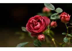 102466,地球,玫瑰,花,壁纸图片