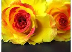 102505,地球,玫瑰,花,壁纸图片