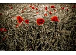 117985,地球,罂粟,花,花,壁纸图片