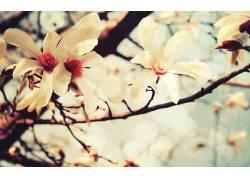 玉兰花壁纸图片