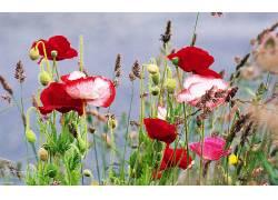 110671,地球,罂粟,花,壁纸图片