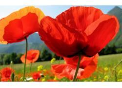 110729,地球,罂粟,花,花,壁纸图片