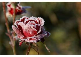 235682,地球,玫瑰,花,严寒,花,红色,花,壁纸