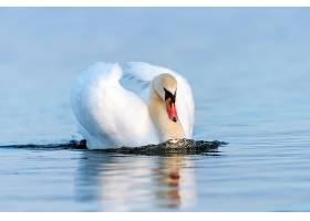 白色的天鹅