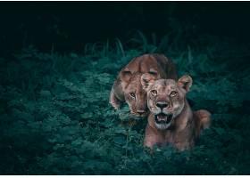 草地上两只狮子