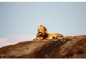 高山的狮子