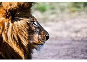 狮子侧面摄影