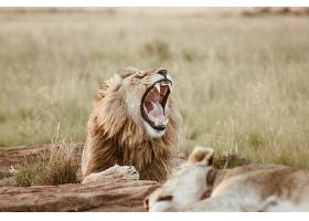 睡觉的狮子与打哈欠的狮子