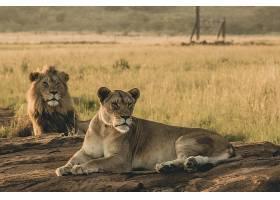 猎豹与狮子
