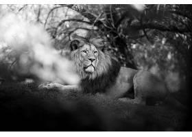 黑白狮子摄影