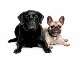 斗牛犬与黑色狗