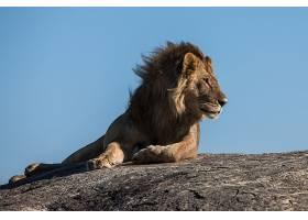 晴天下的狮子