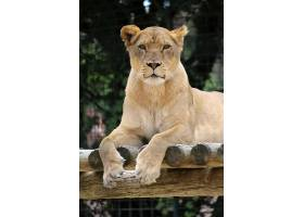 木架上的母狮子
