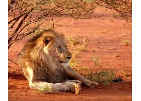 非洲沙漠狮子