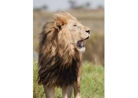 打哈欠的雄狮
