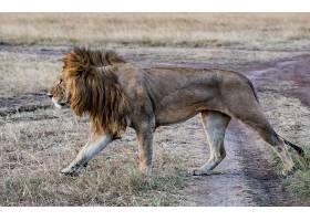 行走的雄狮