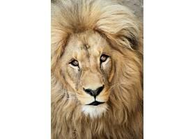 雄狮正面摄影