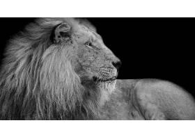 黑色背景与雄狮