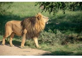 热带雨林狮子