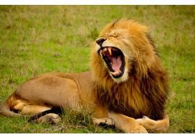 可爱的哺乳动物狮子
