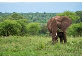 草坪上吃草的大象