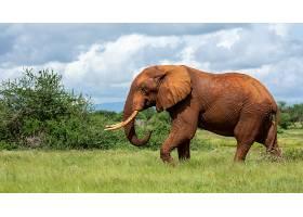 草地上大象