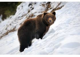 雪地上黑熊