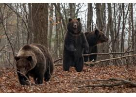 树林里的黑熊