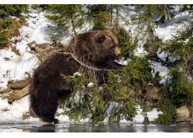 小河边的黑熊