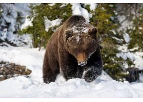 雪地上行走的棕熊