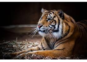 趴在地上的老虎