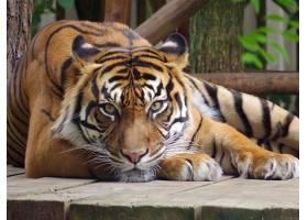 休闲的老虎