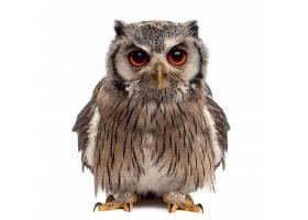红眼猫头鹰