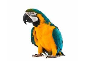 黄绿色鹦鹉